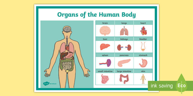 Organs Of The Body Vocabulary Display Poster Organs Body