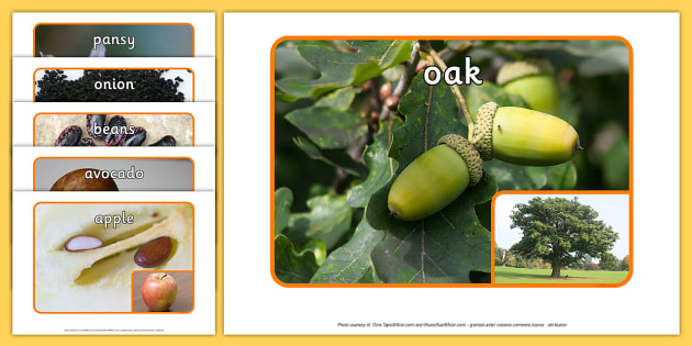 Seeds Photo Pack - display, nature, science, labels, plants, life cycle, visual aid,