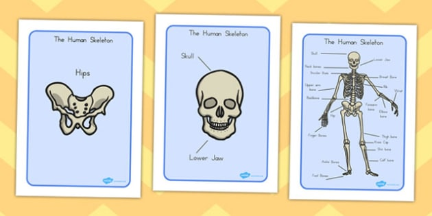 Human Skeleton Display Posters - humans, skeleton, ourselves