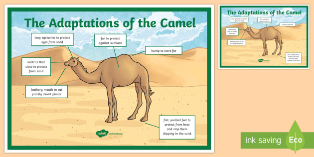 Camel Adaptation A4 Display Poster Science Uae Animals