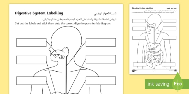 New Digestive System Labelling Activity Sheet Arabic
