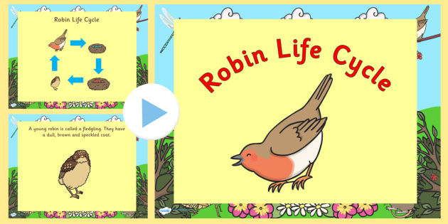 Robin Life Cycle PowerPoint - robin life cycle, robin life cycle powerpoint, robin powerpoint, life cycle of a robin powerpoint, life cycles, robin
