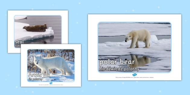 Arctic Animal Display Photos Polish Translation - polish, arctic, animal, display photos, display, photos