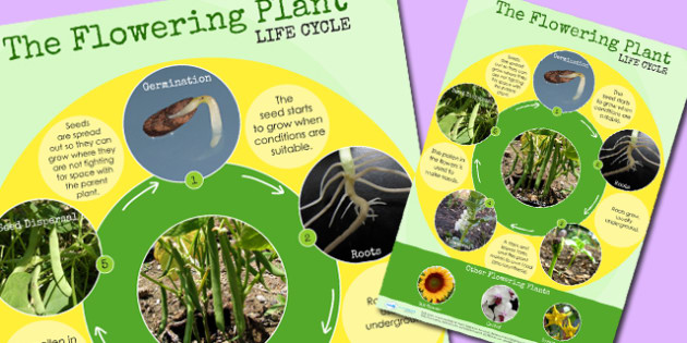 Flowering Plant Life Cycle Display Poster - australia, life cycle