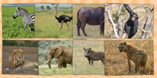 African Animals Photo Clip Art Pack - topic, geography, nature, science, KS1, Key Stage 1, pictures, drawings, images