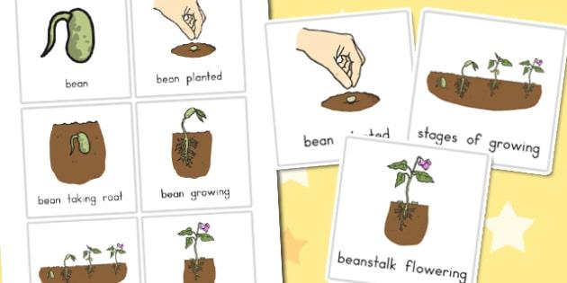 Beanstalk Stages - australia, beanstalk, stages, growth, plant