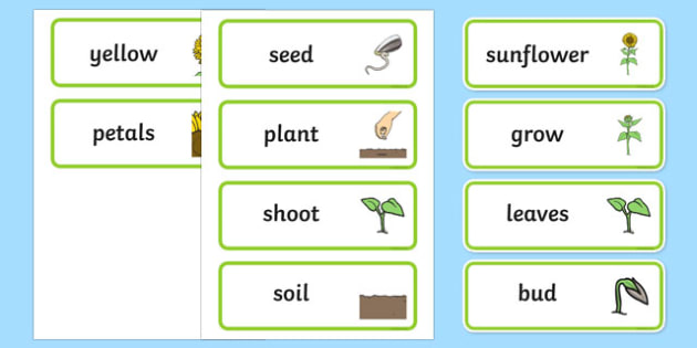 Sunflower Lifecycle Word Cards - lifecycle, word cards, sunflower