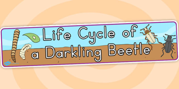 Darkling Beetle Life Cycle Display Banner - life cycles, insects
