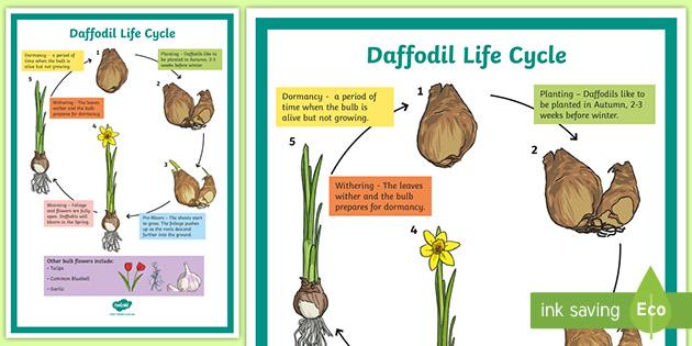 Daffodil Life Cycle Display Poster  Teacher Made