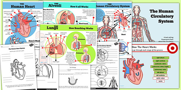 Year 6 human body circulatory system lesson teaching pack ccuart Images
