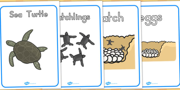Sea Turtle Life Cycle Growth Posters - animals, life cycles