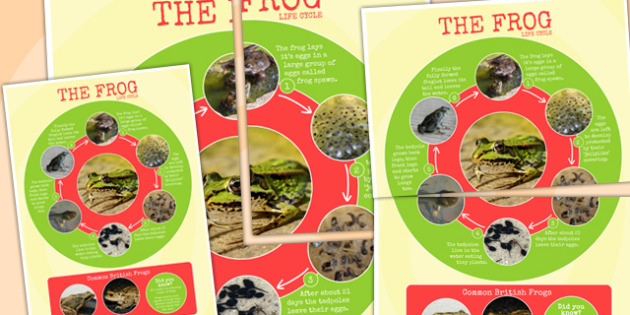 Frog Life Cycle Photo Large Display Poster - minibeast, lifecycle