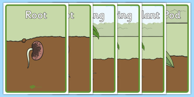 Life Cycle Of A Bean Display Posters Bean Growth Plant