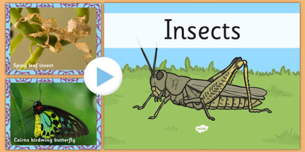 Australian Insects PowerPoint - australia, insects, powerpoint, animals
