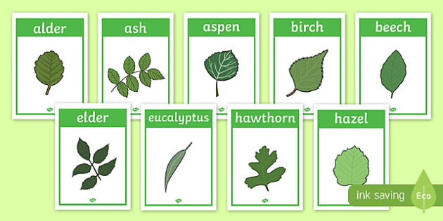 Tree Leaf Identification Display Posters Woodland Leaf Tree