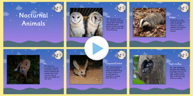 Nocturnal Animals Facts For Kids Owls