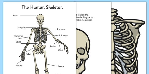 graphic relating to Printable Human Skeleton to Assemble known as Human Skeleton High Show Lower Outs - human, skeleton, significant