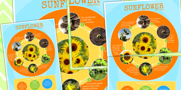 Sunflower Life Cycle Photo Large Display Poster - minibeasts