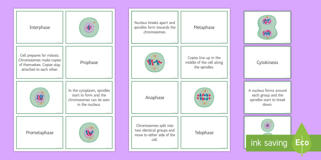 Mitosis Sorting Cards Teacher Made