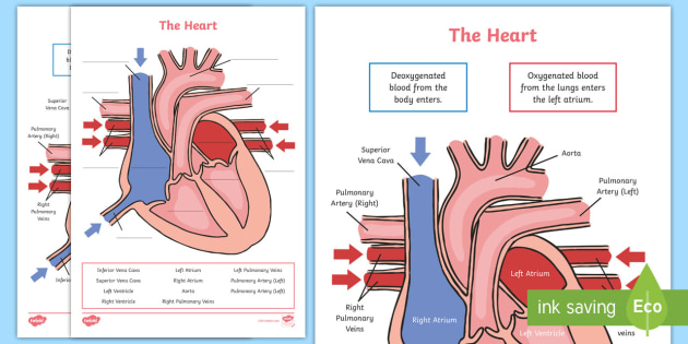 Simple Diagram Of The Heart Labelling Activity