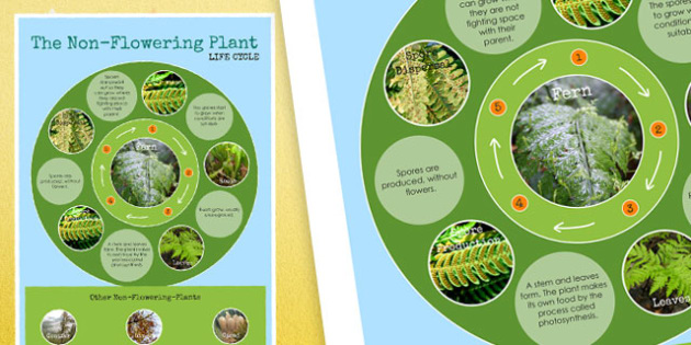 Non Flowering Plant Life Cycle Display Poster - lifecycle, plants