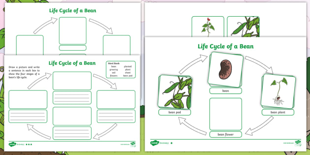 Fee Fi Fo Fum Life Cycle Of A Bean Differentiated