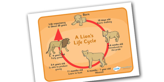 Lion Life Cycle Display Poster / Word Mat - Lions, lifecycle, lifecycles, lioness, cub, pride, poster, sign, mats, writing aid, africa, safari