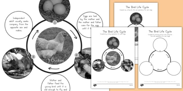 Bird Life Cycle - science, animals, KS2, birds, baby, grow, growth
