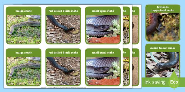 australia s dangerous snakes memory game australian animals