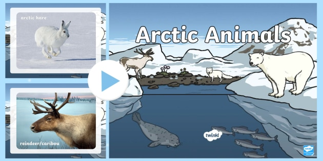 Arctic Animals Display Photo PowerPoint - arctic, arctic animals, display photo, photo, photographs, powerpoint, photo powerpoint, arctic powerpoint