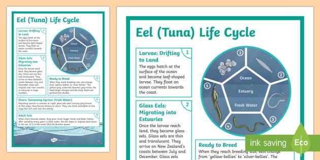 Longfin Eel Life Cycle Display Poster