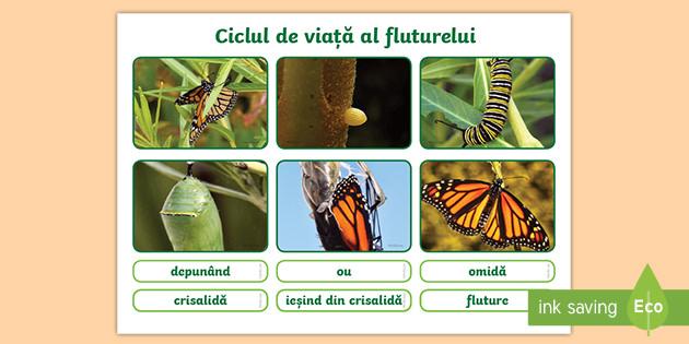 ciclul de viață al fluturilor și lanțurilor