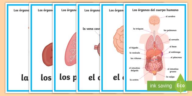 Pósters DIN A4: Los órganos del cuerpo humano - órgano