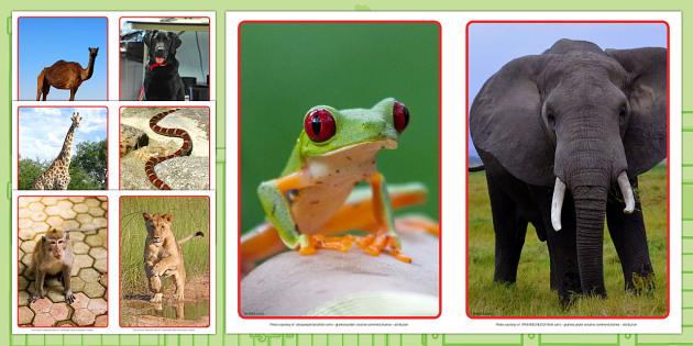 Animal Display Photos A5 -dear zoo, animal photos, display photos, dear zoo photos, dear zoo display, zoo, A5 photos, A5