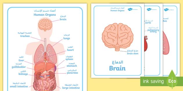 Human Body Organs Display Posters Arabicenglish Eal Human