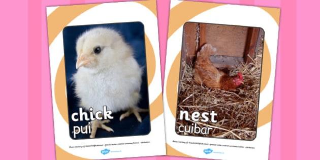 Life Cycle of a Hen Display Photo Romanian Translation - romanian