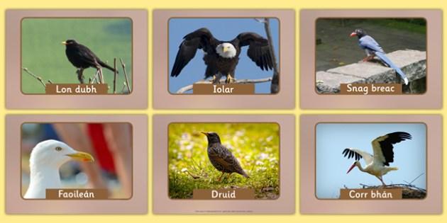 Irish Birds Display Photos Gaeilge - roi, irish, gaeilge, vocabulary, display photos, birds