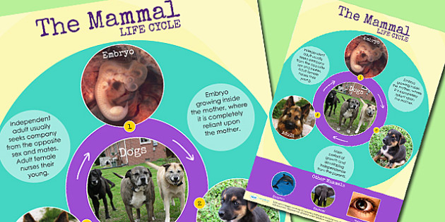 Mammal Life Cycle Display Poster - lifecycle, animals, growth