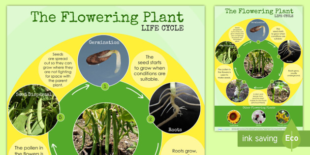 Flowering Plant Life Cycle Display Poster - australia, life