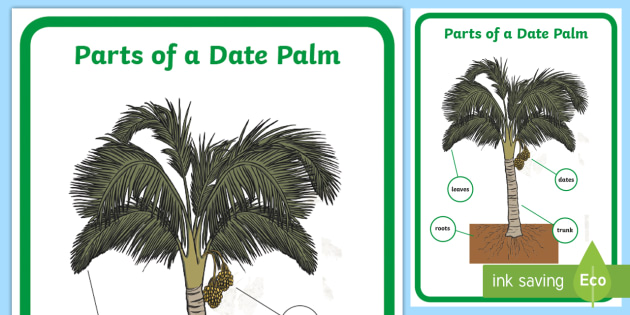 tree trunk diagram blank parts of a date palm display poster - date palm, dates, palm diagram palm tree trunk