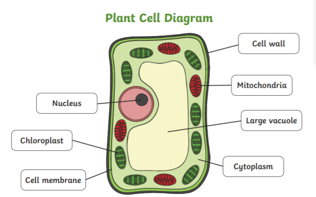 What is a Plant Cell? - Answered - Twinkl teaching Wiki