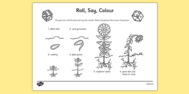 Plant Life Cycle Primary Resources - Life Cycle of a