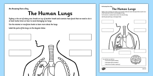 The Human Lungs Worksheet    Worksheet