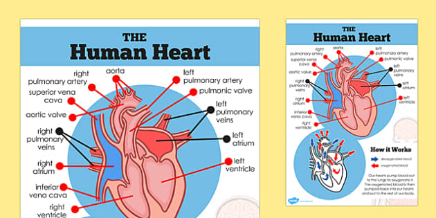 Animals including humans identify and name the main the human heart diagram display poster ourselves human body ccuart Gallery