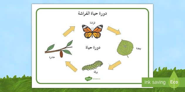 بساط مفردات دورة حياة الفراشة