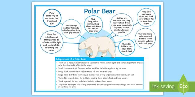 adaptations   polar bear display poster twinkl