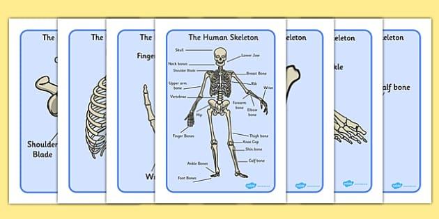 human skeleton display posters  common names   teacher made