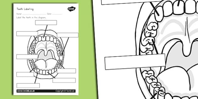 Baby Teeth Diagram Worksheet Wiring Diagram Portal