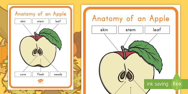 Anatomy Of An Apple Poster Apple Apple Diagram Apple Poster