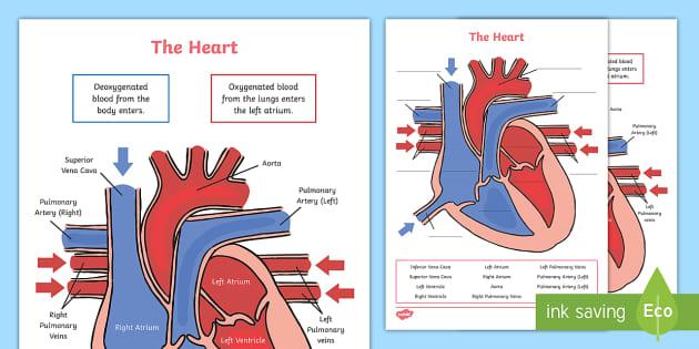 Heart Diagram Labelling Activity